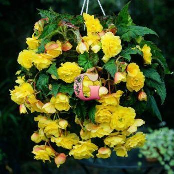 Бегония Каскад Пендула Желтая | Yellow (5 шт)