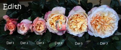 Роза Эдит | Edith (английские) (осень 2019 г.)
