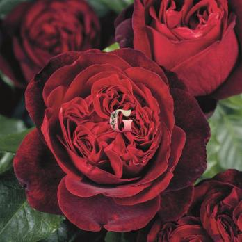 Роза Адмирал | Admiral (чайно-гибридные)(осень 2020 г)