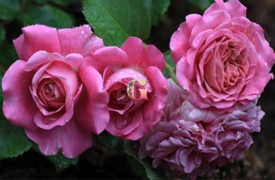 Роза Агнэс Шилингер | Agnes Schillinger (Шраб) (Весна 2021 г)