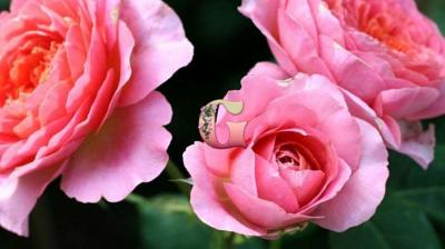 Роза Амандин Шанель | Amandine Chanel (шраб) (Весна 2021г.)