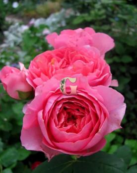 Роза Амандин Шанель | Amandine Chanel (шраб)