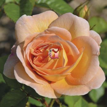 Роза Амели Нотомб | Amelie Nothomb (чайно-гибридные)