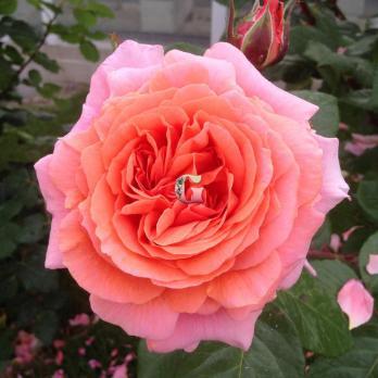 Роза Амур де Молен |  Amour de Molene (чайно-гибридные)