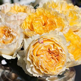 Роза Беатрис | Beatrice (Английская)
