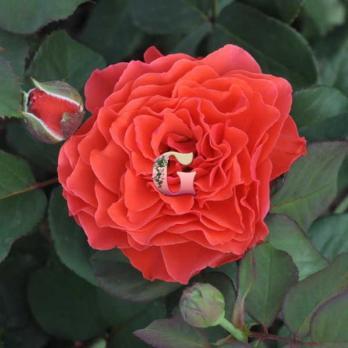 Роза Эклад де Кораил | Eclat de Corail