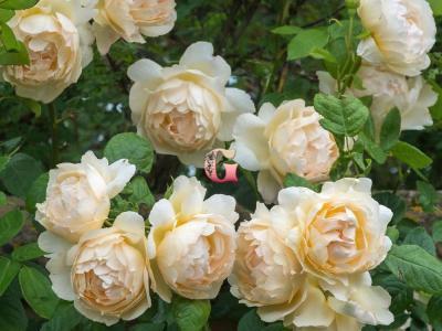 Роза Воллертон Олд Холл | Wollerton Old Hall (Английские) (осень 2020 г)