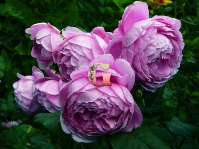 Роза Алан Титчмарш |  Alan Titchmarsh (Английские) (Осень 2021 г)