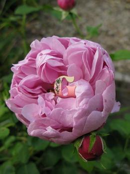 Роза Чарльз Ренни Макинтош | Charles Rennie Mackintosh (Английские)