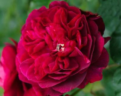 Роза Дарси | Darcey (Английские)
