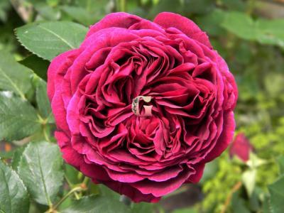Роза Фальстаф | Falstaff (Английские) (осень 2020 г)