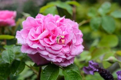 Роза Гертруда Джекилл | Gertrude Jekyll (Английские) (осень 2020 г)