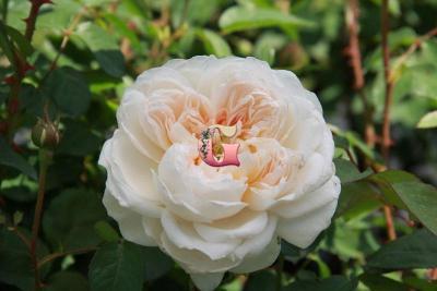 Роза Глэмис Касл | Glamis Castle (Английские) (Весна 2021 г.)