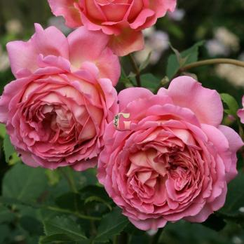 Роза Джубили Селебрейшн | Jubilee Celebration (Английские)