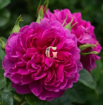 Роза Принцесса Анна | Princess Anne (Английские)