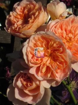 Роза Ти Клиппер |  Tea Clipper (Английские)