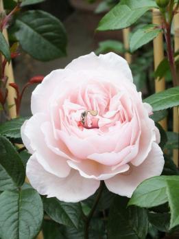 Роза Дженерос Гарденер | The Generous Gardener (Английские)