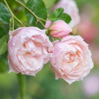 Роза Дженерос Гарденер | The Generous Gardener (Английские)(осень 2020 г)