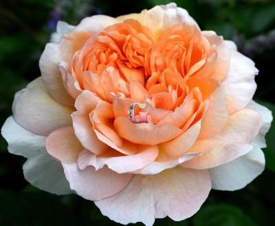 Роза Зе Леди Гарденер | The Lady Gardener (Английские)