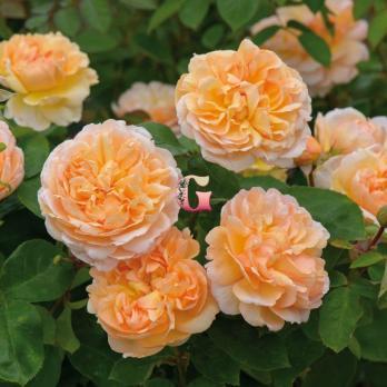 Роза Зе Леди Гарденер | The Lady Gardener (Английские) (осень 2020 г)