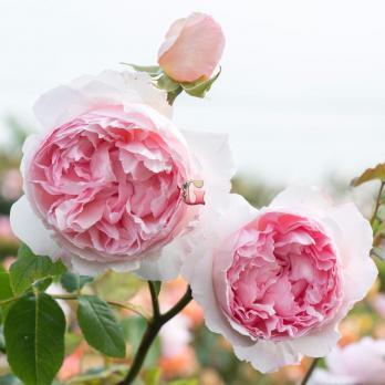 Роза Зе Веджвуд Роуз | The Wedgwood Rose (Английские) (Весна 2021г)