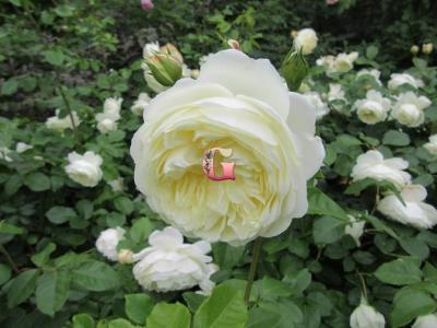 Роза Транквилити | Tranquillity (Английские)