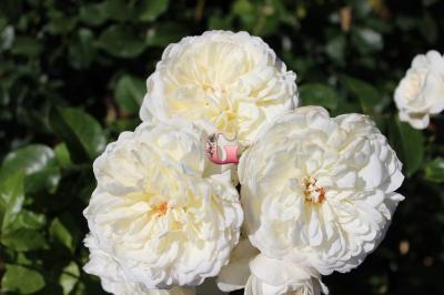 Роза Транквилити   Tranquillity (Английские) (Осень 2021 г.)