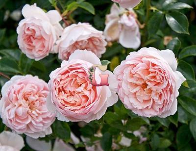 Роза Вайлдив | Wildeve (Английские) (Осень 2020 г.)