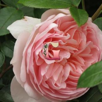 Роза Вайлдив | Wildeve (Английские) (Осень 2019 г.)