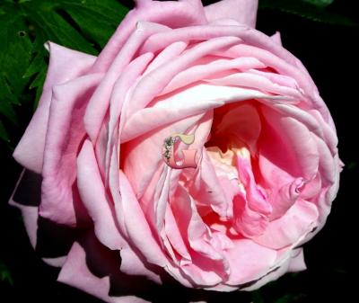 Роза Амазинг Грейс | Amazing Grace (чайно-гибридные)