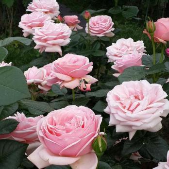 Роза Афродита | Aphrodite (чайно-гибридные)(осень 2021г)