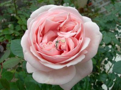 Роза Афродита | Aphrodite (чайно-гибридные)