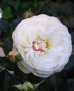 Роза Артемис | Artemis (Шраб)(осень 2019 г.)