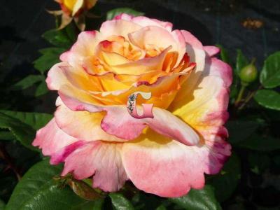 Роза Акварель | Aquarel (чайно-гибридные)