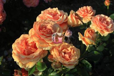 Роза Ашрам | Ashram (чайно-гибридные)