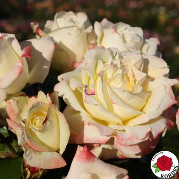 Роза Атена 1 | Athena 1 (чайно-гибридные)