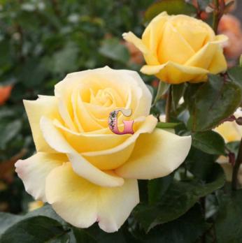 Роза Авек Амор | Avec Amour (чайно-гибридные)
