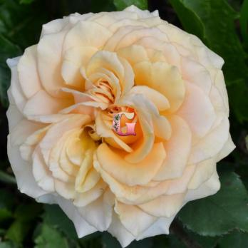 Роза Азафран | Azafran (чайно-гибридные) (осень 2019 г.)