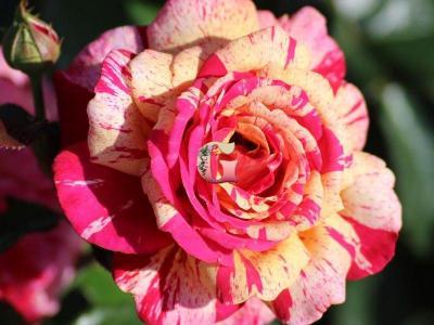 Роза Броселианд | Broceliande (чайно-гибридные)