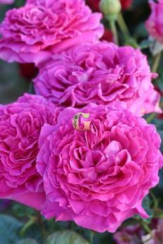 Роза Шартрез де Парм | Chartreuse de Parme (чайно-гибридные) (Осень 2021г.)
