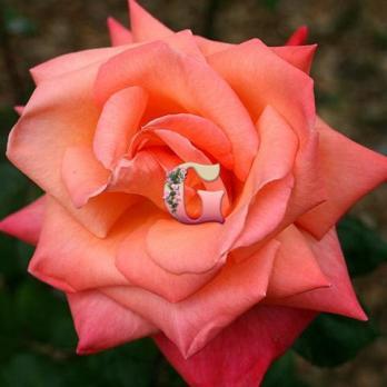 Роза Христофор Колумб | Christophe Colomb (чайно-гибридные)
