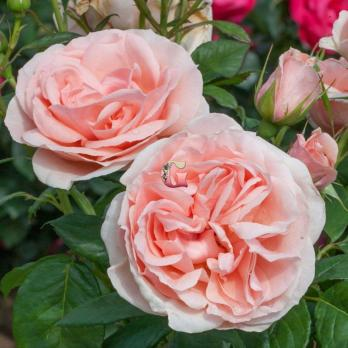 Роза Донателла | Donatella (чайно-гибридная)