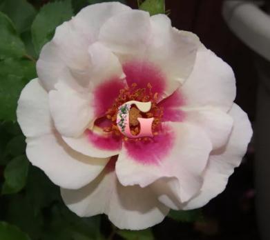Роза Буллз Ай | Bull's Eye (Шраб)