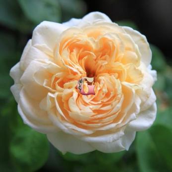 Роза Дэни Хан | Dany Hahn (Шраб) (весна 2021 г.)