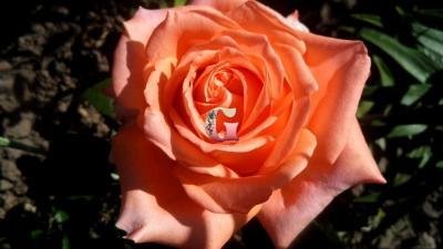 Роза Эльдорадо   Eldorado (чайно-гибридные) (весна 2021г.)