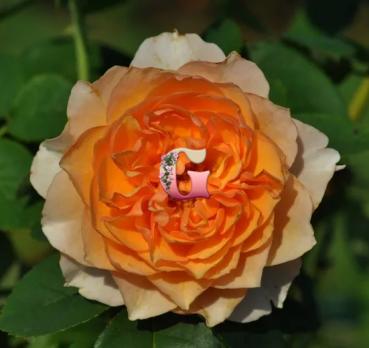 Роза Фруфрутант Жаки | Froufroutante Jackie (Шраб) (Осень 2021г.)
