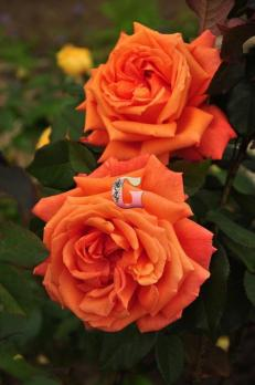 Роза Гуд Лайф | Good Life (чайно-гибридные)