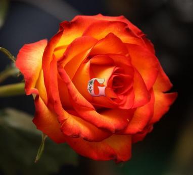 Роза Хай Мэджик |High Magic