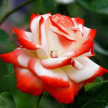 Роза Императрица Фарах   Imperatrice Farah (осень 2021 г)