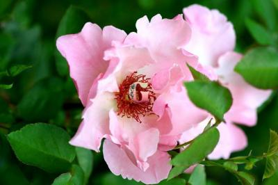 Роза Жардин Де Парадис | Jardiniers Du Paradis (Шраб)(осень 2021г)_